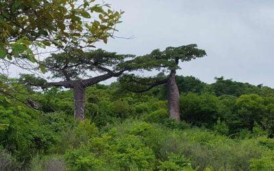 Baobab, der Cholesterinsenker aus Madagaskar